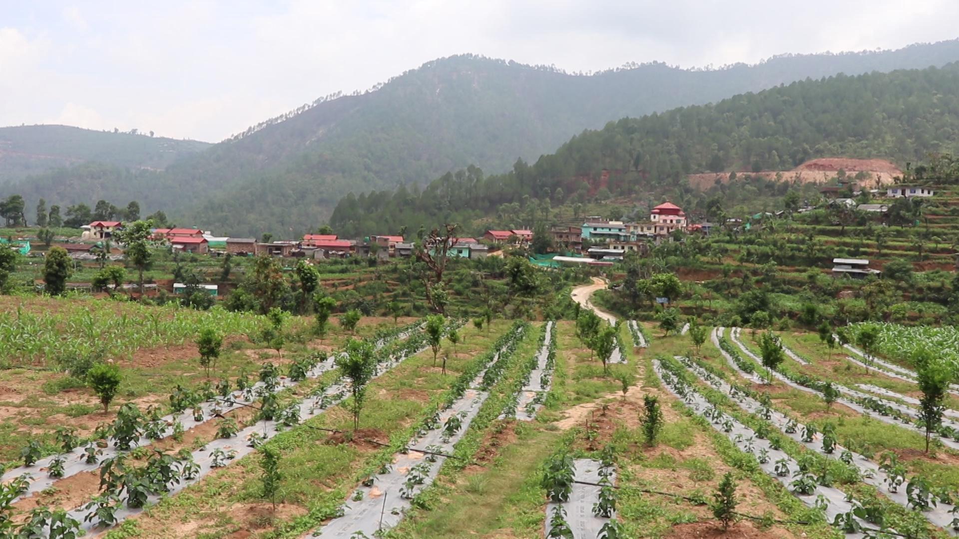 कोरोनाले गाउँ फर्कायो, गाउँमै व्यवसायिक खेती गर्दै धादिङका युवा
